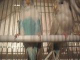 однажды и навсегда неразлучимая пара волнистых попугаев